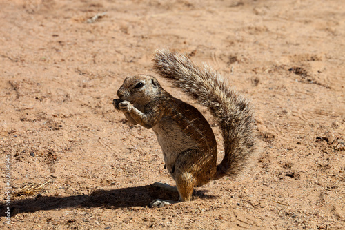 Deurstickers Eekhoorn South African ground squirrel, Kalahari, South Africa