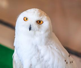 Snowy Owl or Bubo scandiacus
