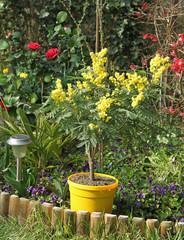 Mimosa dans un jardin