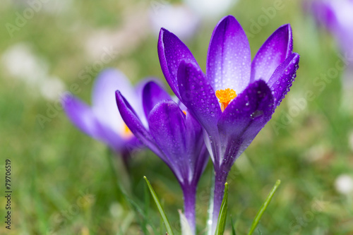 Foto op Plexiglas Krokussen Dew on purple crocus