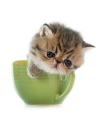 kitten exotic shorthair in teacup
