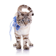 Striped cat with a blue bow.