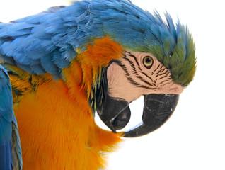 parrot bird animal  head