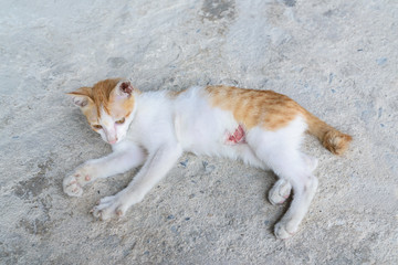 wounded kitten,injured little cat with lesion at the body stay o