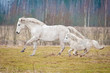 White horse and white shetland pony running on the pasture - 79718577