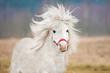 Portrait of white shetland pony with long mane - 79718579