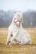 White shetland pony making a trick - 79718581