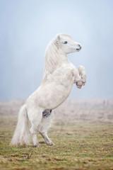 White shetland pony rearing up in the fog