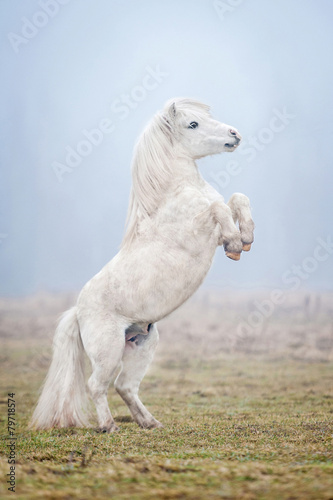 White shetland pony rearing up in the fog - 79718574