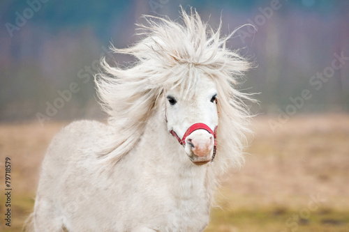 Portrait of white shetland pony with long mane - 79718579