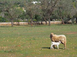 Lamm mit seiner Mutter auf Ibiza