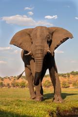 male African elephant, Botswana