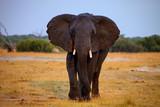 adult bull elephant Loxodonta africana