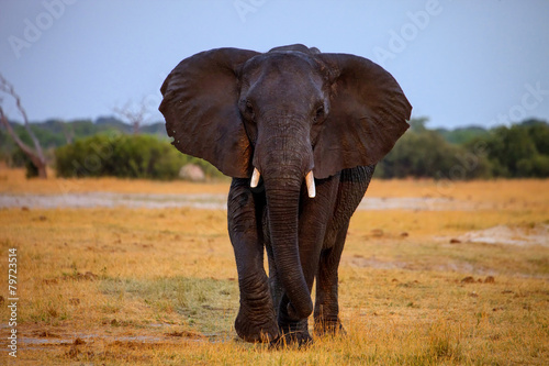 Plexiglas Olifant adult bull elephant Loxodonta africana