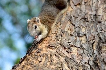 The grey squirrel eating nut in park Bangkok ,Thailand
