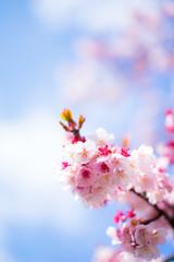 寒桜と青空