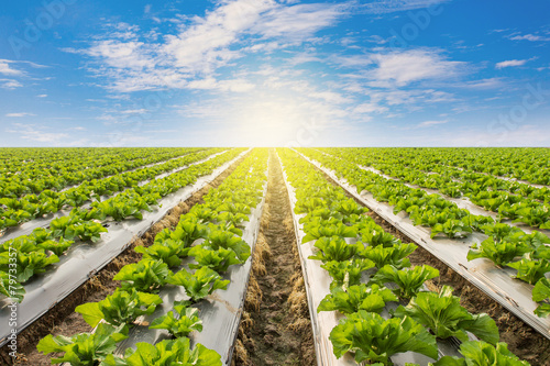 Papiers peints Vegetal Green lettuce on field agricuture with blue sky