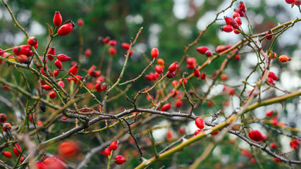 Rosehip bush with many tender red berries on blurred background