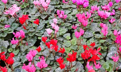 many red and pink cyclamen