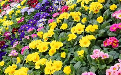 colorful Primroses in the garden of the villa