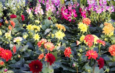 flowers dahlia for sale in florist's greenhouse in spring