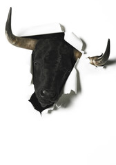 Black fighting bull head breaking a blank paper