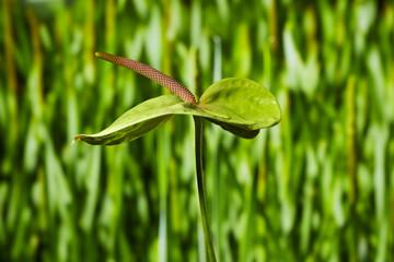 Anthurie vor grüne Wiese