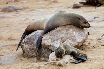 female with young Brown fur seal Arctocephalus pusillus