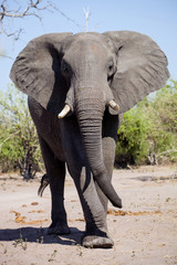 African elephant,in Etosha National Park in Namibia