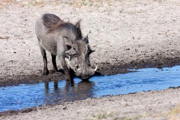Desert Warthog, drinks water from the waterhole, Namibia