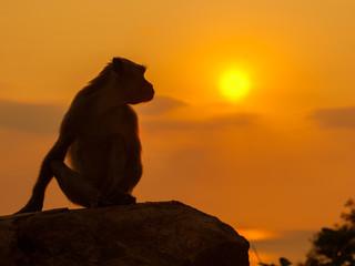 Monkay at beautyful sunset