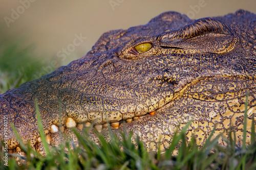 In de dag Krokodil Portrait of a Nile Crocodile Crocodylus niloticus,
