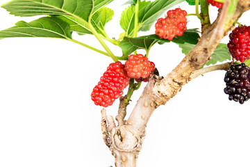 red Mulberry fruit on tree