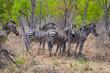 Постер, плакат: plains zebra Equus quagga Zimbabwe