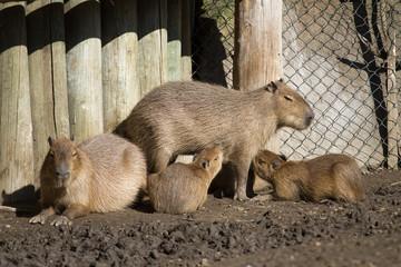 Capybara and her cubs