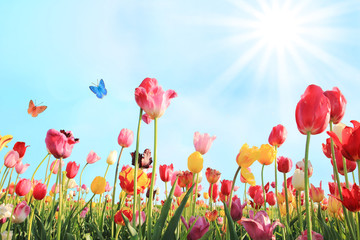 Tulpenfeld an einem strahlenden Sonnentag