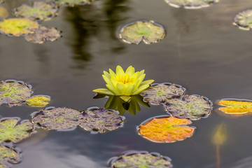 blooming water lily floating in the lake