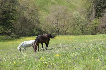 Scena bucolica con cavalli