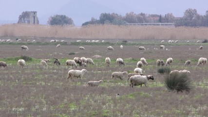 Sheep in Nature