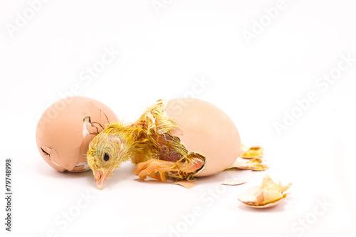 Staande foto Kip Newborn chicks