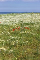 Wildflowers on the Clifftop