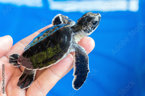 Hand holding newly hatched baby turtle - 79750554
