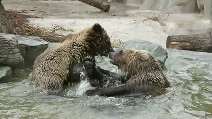Two brown bears playing in Zoo enclosure