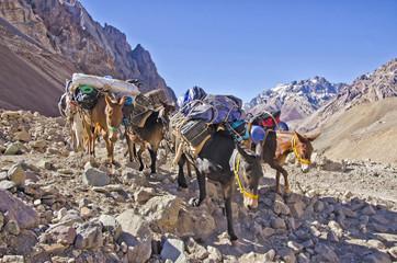 Mules  caravan  in the Mountain