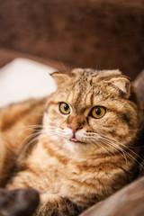 Scottish fold red cat playing