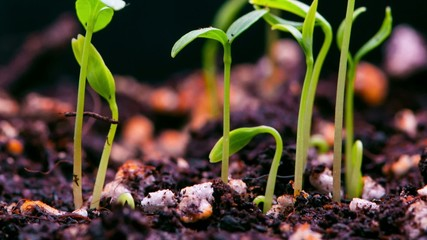 Time-Lapse of germinating plant.