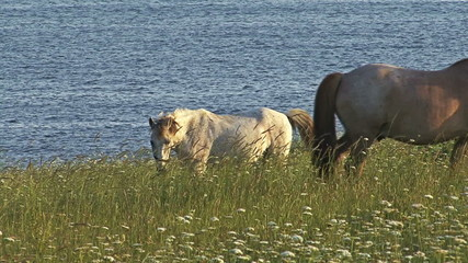 Wild Horses grazing on the meadow, sea background