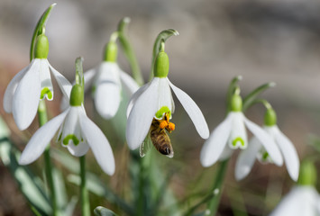 Bee in snowdrop
