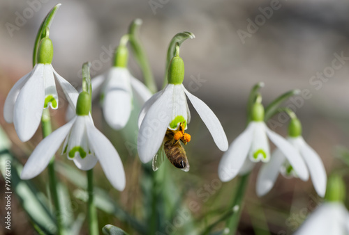 Bee in snowdrop - 79762130