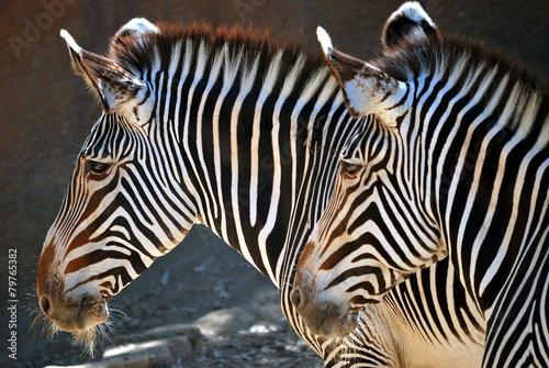Deurstickers Zebra Two zebras